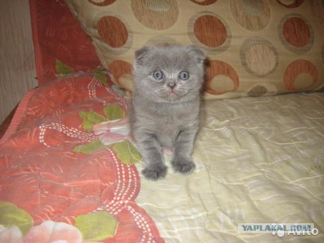продам вислоухого британского котенка