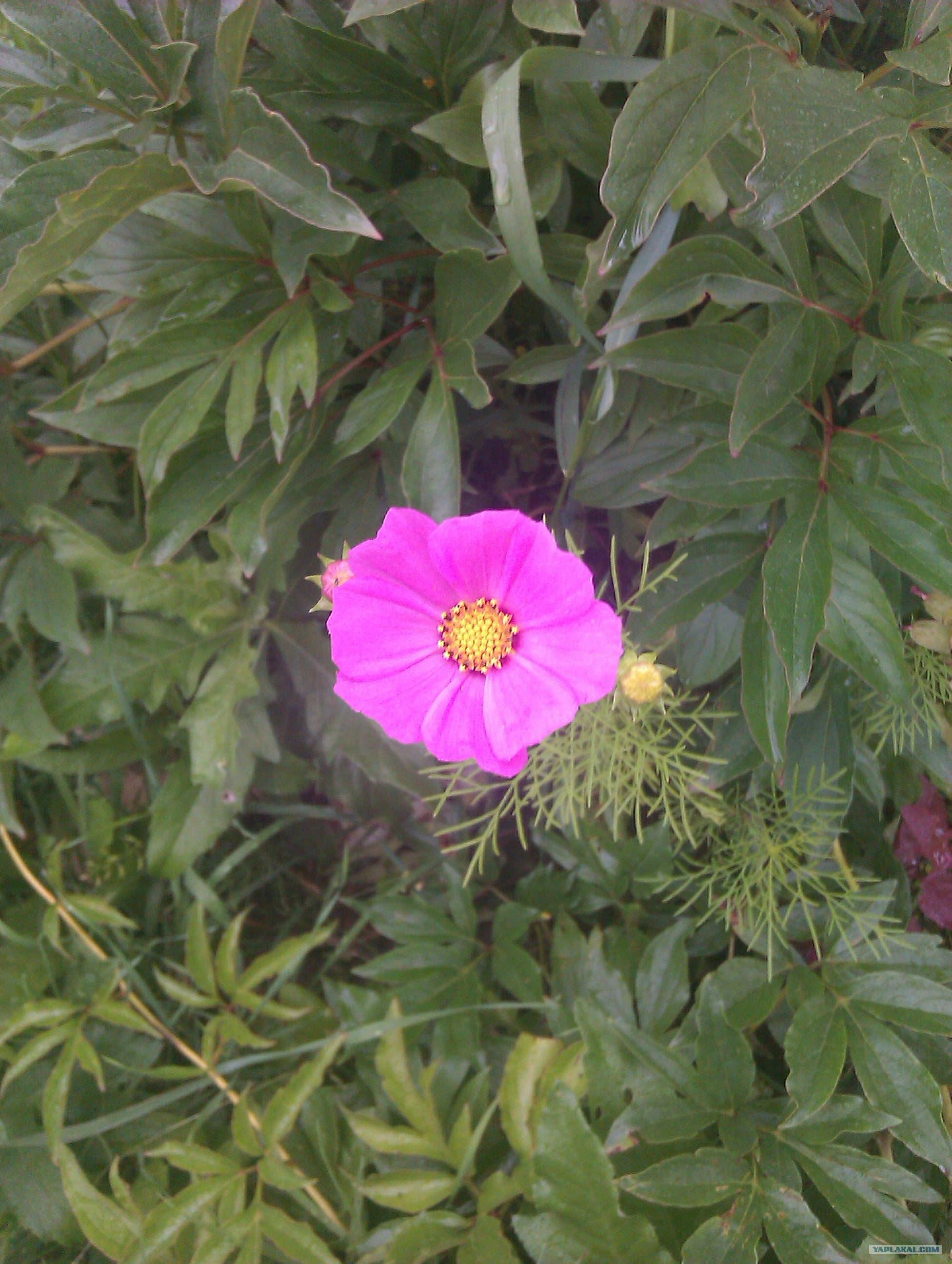 Камея цветок цветы