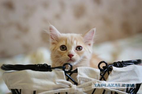 Кому пушистых , симпатявых домашнего разведения котят?
