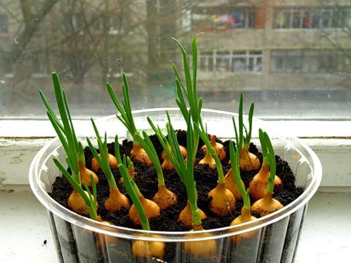 Садим лук в домашних условиях