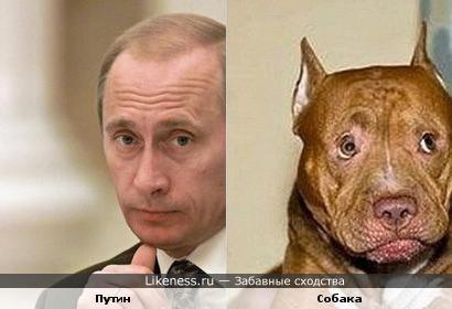 собака которая похожа на путина фото