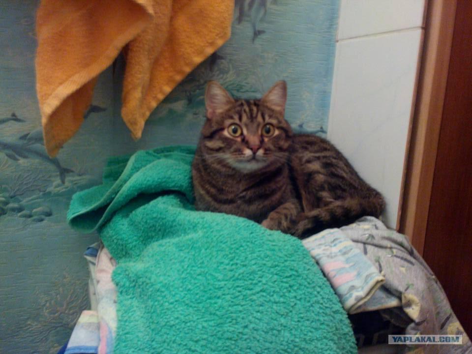факты о кошках сфинксах