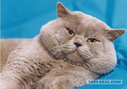 британские кошки фото - фотография 9.