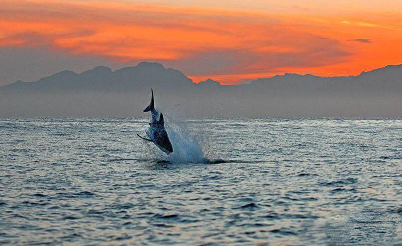 ...охоте (11 фотографий), photo:3. Фото 3, Большая белая акула на охоте...