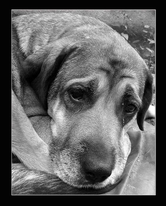 В Кузбассе спасённого волонтерами пса съели на обед новые хозяева
