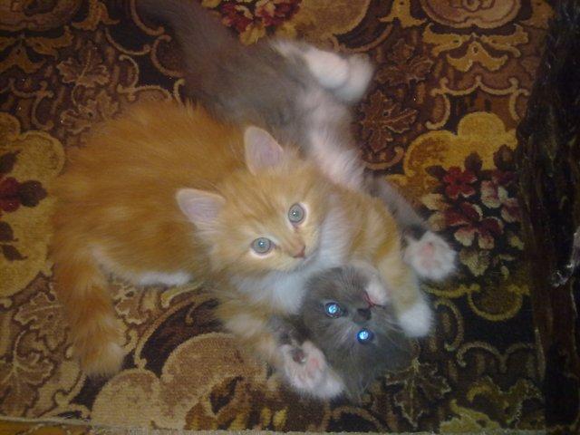 Отдам красивейших котят