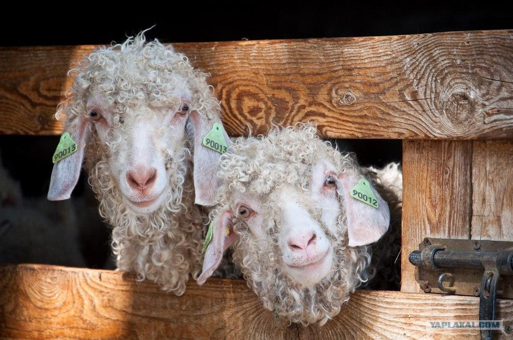 Коза овца своими руками