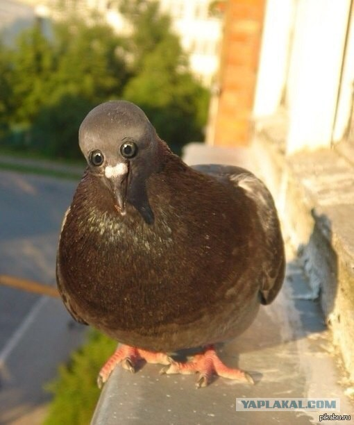 А что если бы голуби были такими