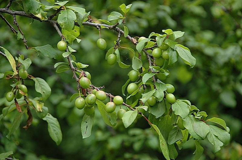 Гроздь ягод красная смородина с листьями