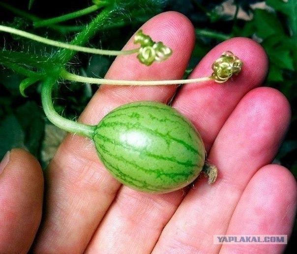 Самые необычные гибриды и сорта овощей и фруктов Post-3-13427165046639