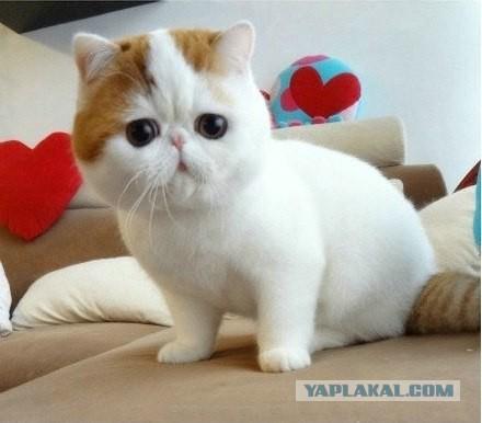 Коты как игрушка порода