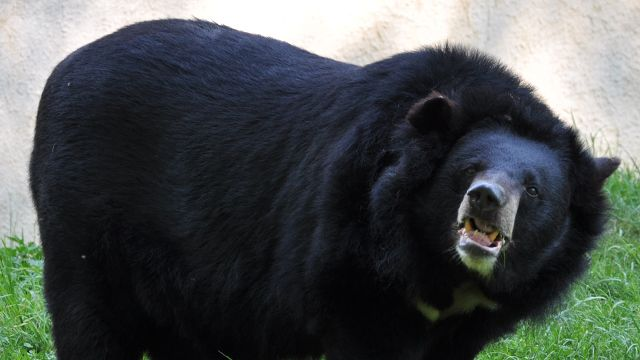 Пожилой японец-каратист избил разъяренного медведя на рыбалке
