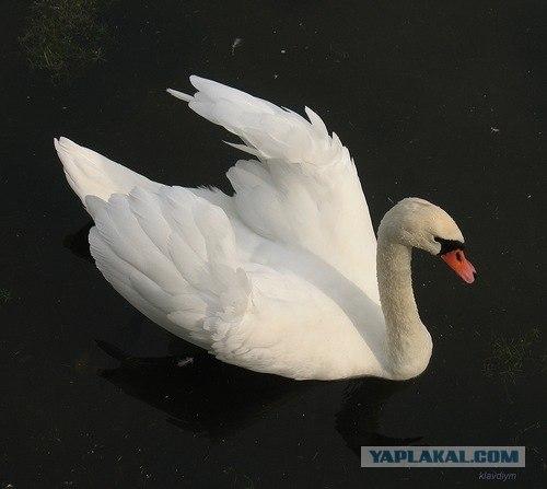 лебедь белая слушать-ещ3