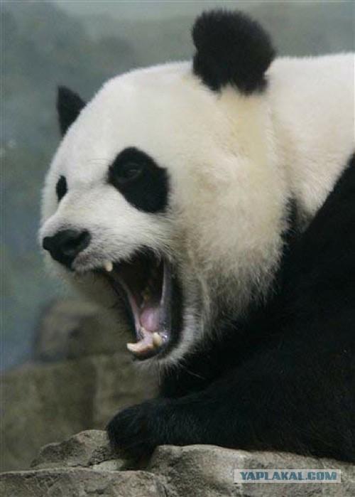 Нападение панды на человека попало на видео