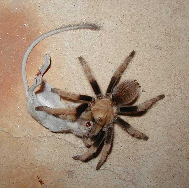 Если снится паук беременной