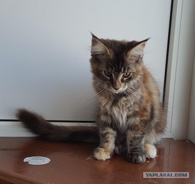 Продаю котят Мейн-Кун