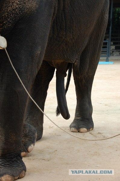 стояк у слона фото она уже проявляет