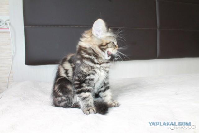 Котята Девочки Мейн-Кун Продам
