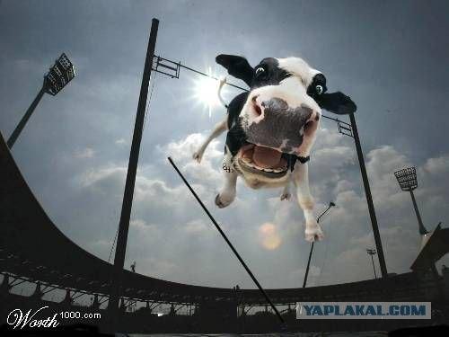 Кто говорил, что коровы не летают?