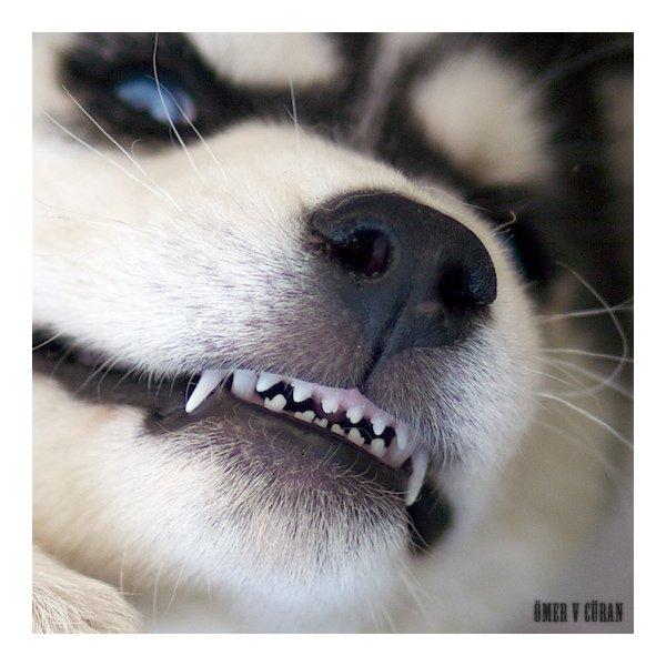 Порода собак называется Siberian husky - сибирские хаски (или сибирская...