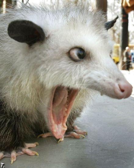 Mad possum