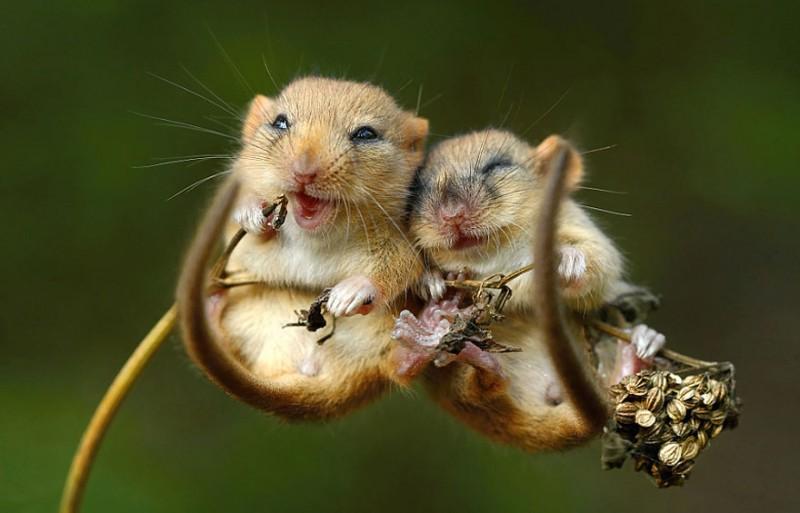 изображение мышки: