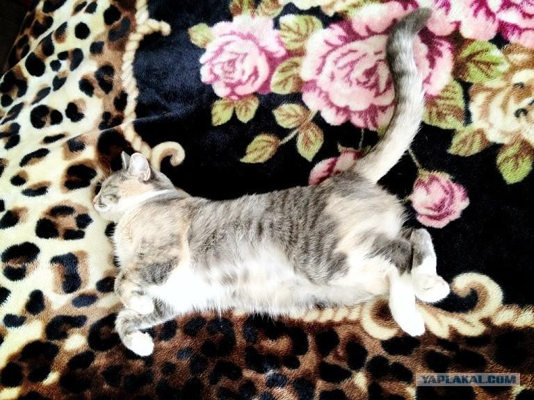 Кошка Ашера  афера века!  Статьи  animalru