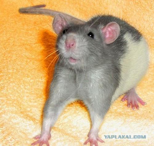 Домашний питомец мышка