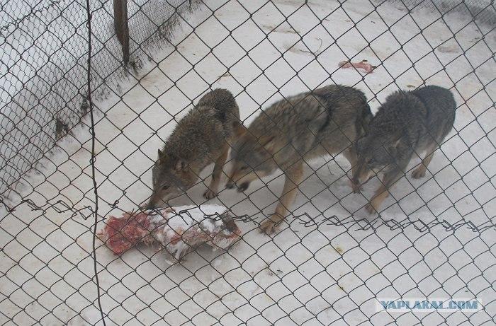 Шамович и волки