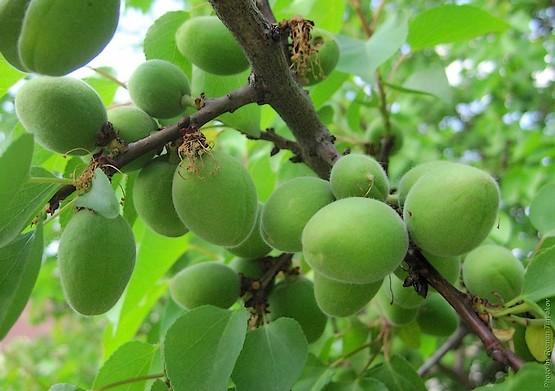 индукционные почему у абрикоса листья желто зеленые заделать текущие