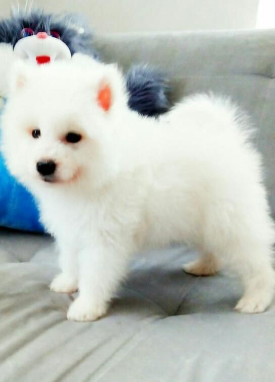 Белый пушистый щенок самоеда