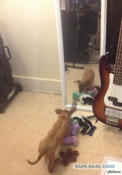 Пёс пытается понять концепцию зеркала