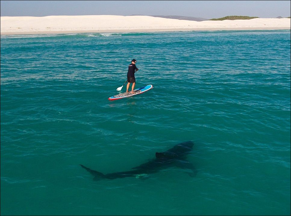 акул которые едят людей