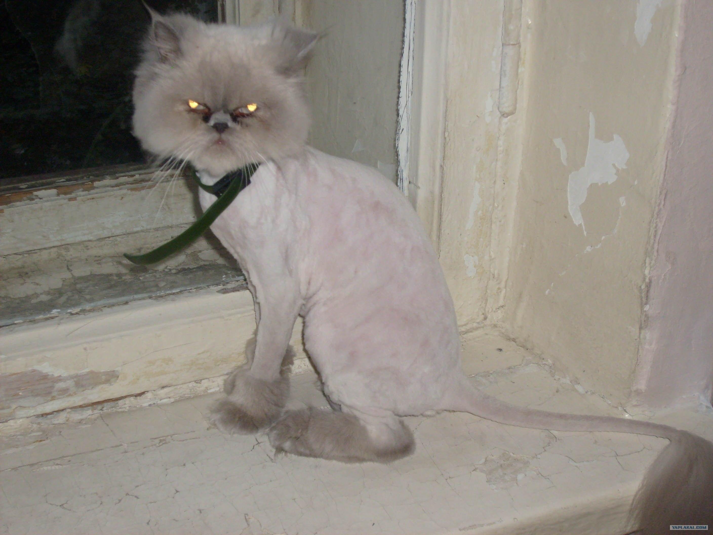 Как подстричь кота в домашних условиях : побрить самому, подстричь 45