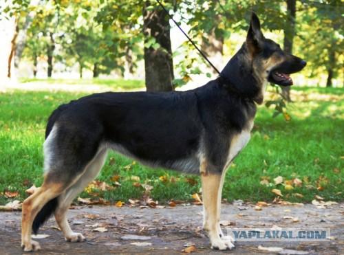щенок восточно европейская овчарка фото