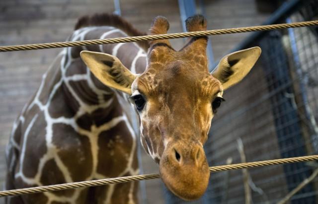 В зоопарке Копенгагена убили жирафа :(