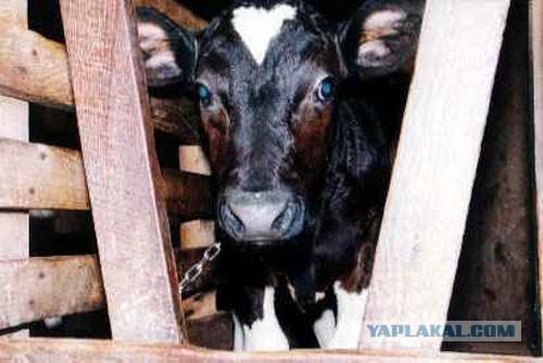 ООН может признать мясоедение преступлением.