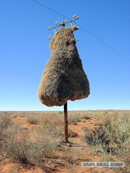 Необычные гнезда птички строят.  Совсем уже городскими