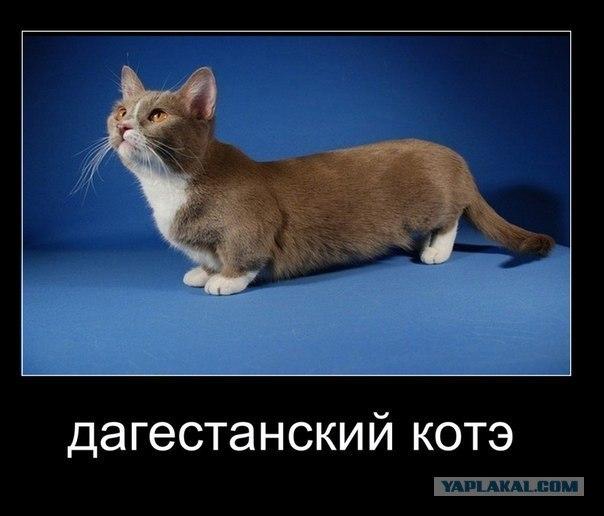 Кот по дагестанский