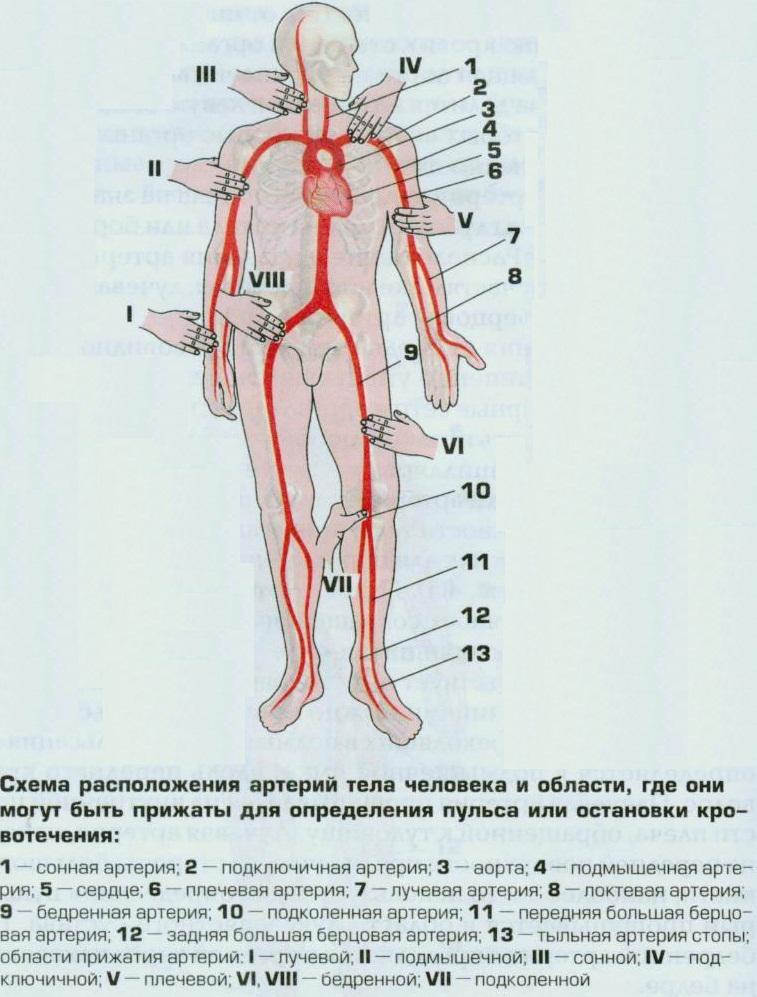 Схема артерий человека