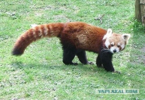 Красная панда - очень милое и редкое животное.