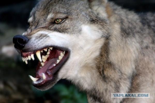 В Крыму бывший десантник голыми руками задушил волка!