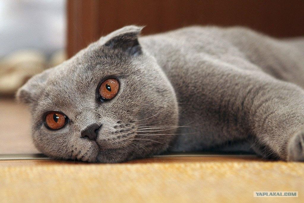вислоухая кошка - Сумки.