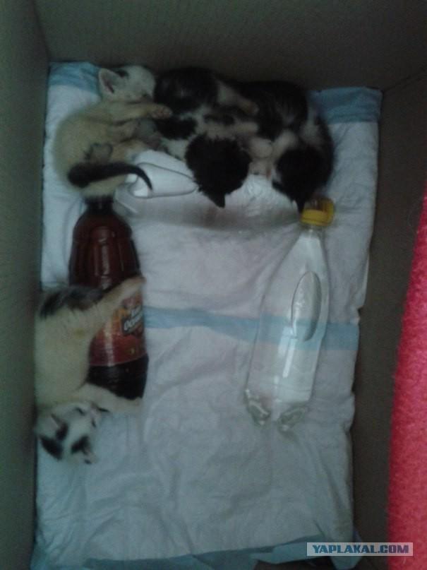 Котята, спасенные и выкормленные, ищут хозяев.