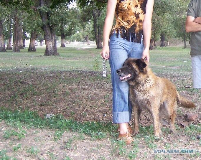 Моя собака, помесь кавказской овчарки и московской сторожевой.