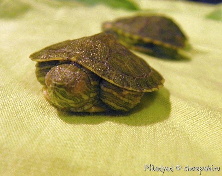 Спячка у красноухих черепах признаки