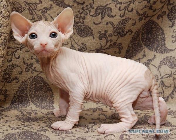 сфинксы кошки фото - фотография 9.