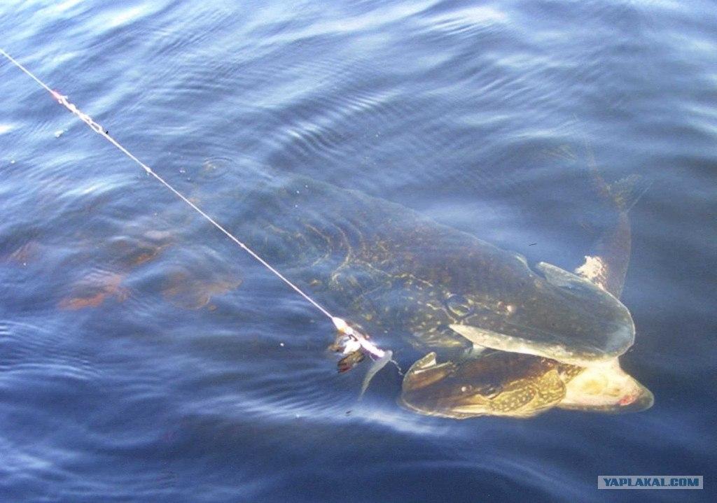 Щука-крокодил без малого 36 кг.  Фото сделано на Онежском озере.