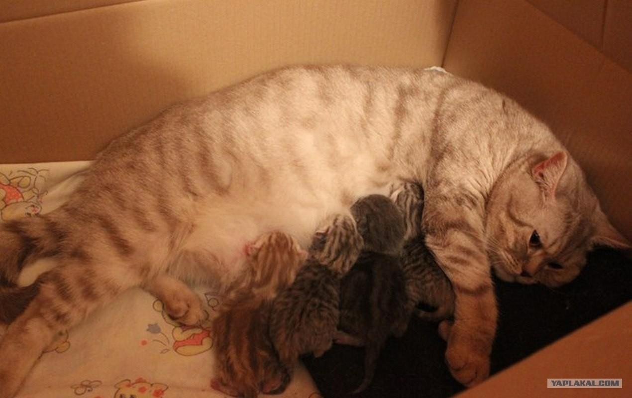 Ашера кошка фото цена описание породы характер видео