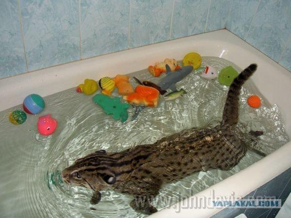виверровый кот рыболов сколько стоит